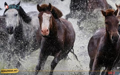 علماء الوراثة يحطمون أسطورة شائعة عن الخيول